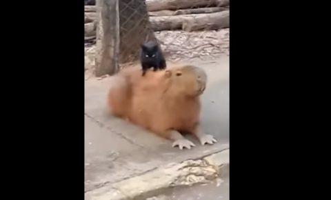 cat-massage-capybara01