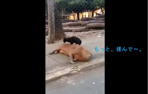 cat-massage-capybara02
