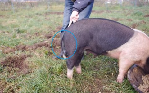 how-to-straighten-a-pigs-tail02