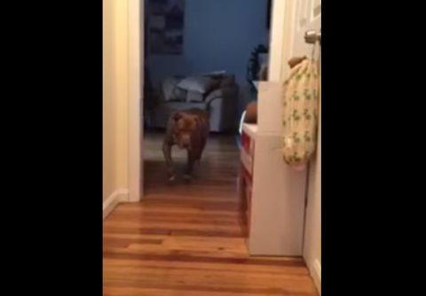 nervous-pitbull-vs-sleeping-cat01