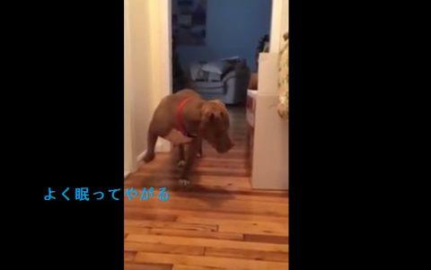 nervous-pitbull-vs-sleeping-cat02