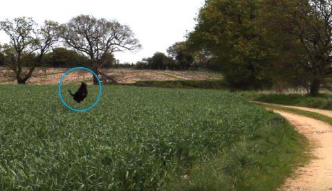 rosie-dog-in-field-bouncing02
