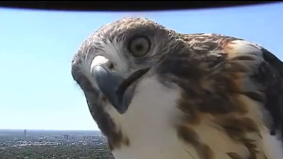 curious-hawk-checks-out-weather-cam01