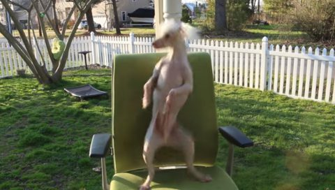 hairless-dancing-dog-nathan02