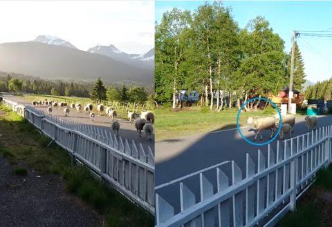 herd-of-sheep-went-wrong-way02