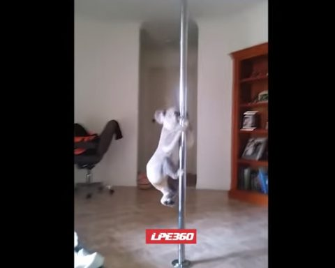 koala-pole-dancer02