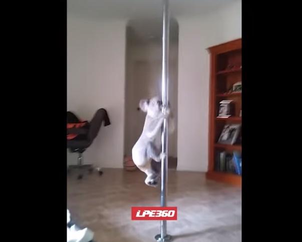 koala-pole-dancer02