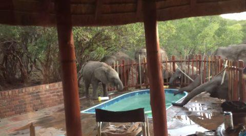 elephants-crash-pool-party02