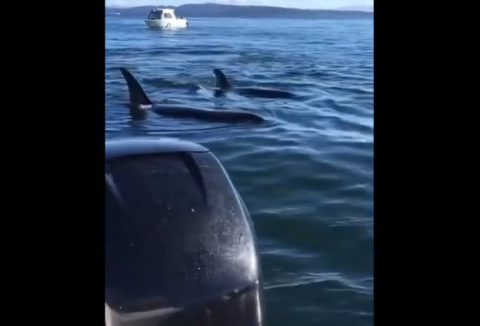 orcas-hunting-seal-jumps-in-boat03
