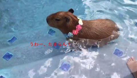 sweetie-the-capy-relaxing-in-the-pool02
