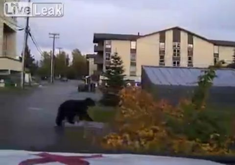 bear-being-chased-by-police02
