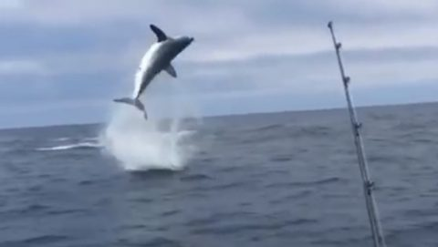 hooked-shark-jumps-through-the-air02