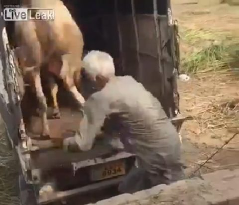 indian-man-is-kicked-in-cow02