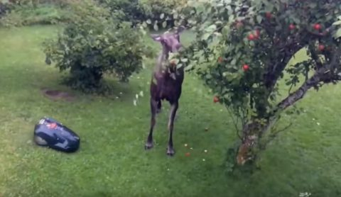 lawnmower-vs-apple-thieving-moose02