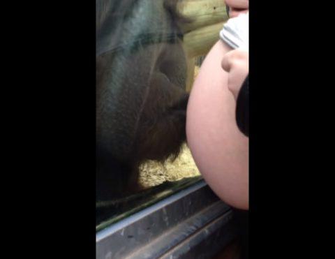 orangutan-loves-baby-bump02