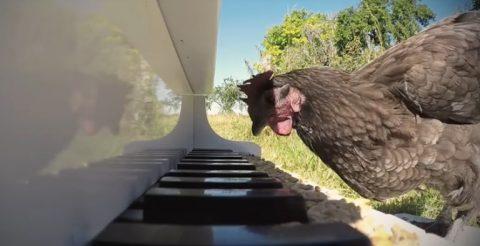chickens-sonata03