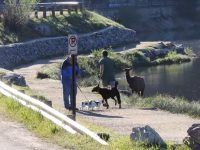 cow-elk-chases-jogger-and-dog01