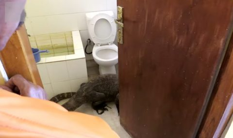 komodo-dragon-in-bathroom01