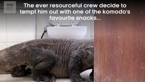 komodo-dragon-in-bathroom3
